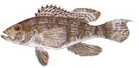 Black Sea Bass